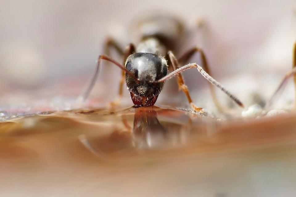 pijící mravenec